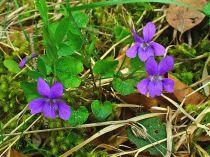 gardening, violets, violas, pansies,