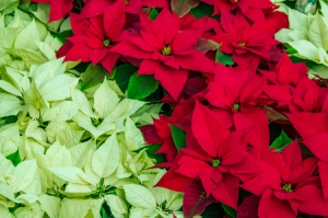 65065323 - traditional flowering poinsettia plants in bloom for the christmas holidays